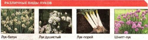 Лук  семейный...и Суворова