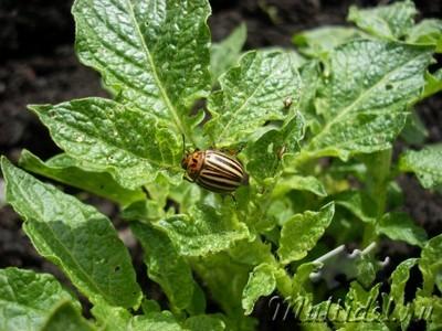 Колорадский жук, биологические и химические методы борьбы с ним