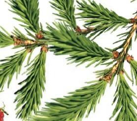 Дары леса - желе из костяники и еловое варенье